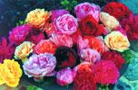Roses for Harmony laminated